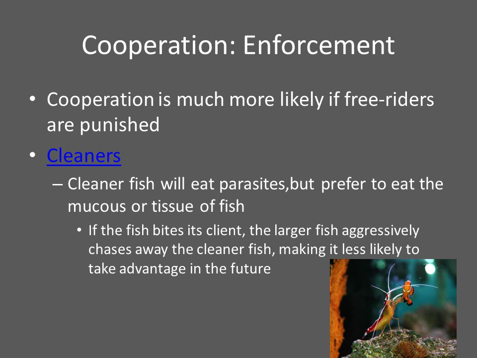 Cooperation: Enforcement Cooperation is much more likely if free-riders are punished Cleaners – Cleaner fish will eat parasites,but prefer to eat the mucous or tissue of fish If the fish bites its client, the larger fish aggressively chases away the cleaner fish, making it less likely to take advantage in the future