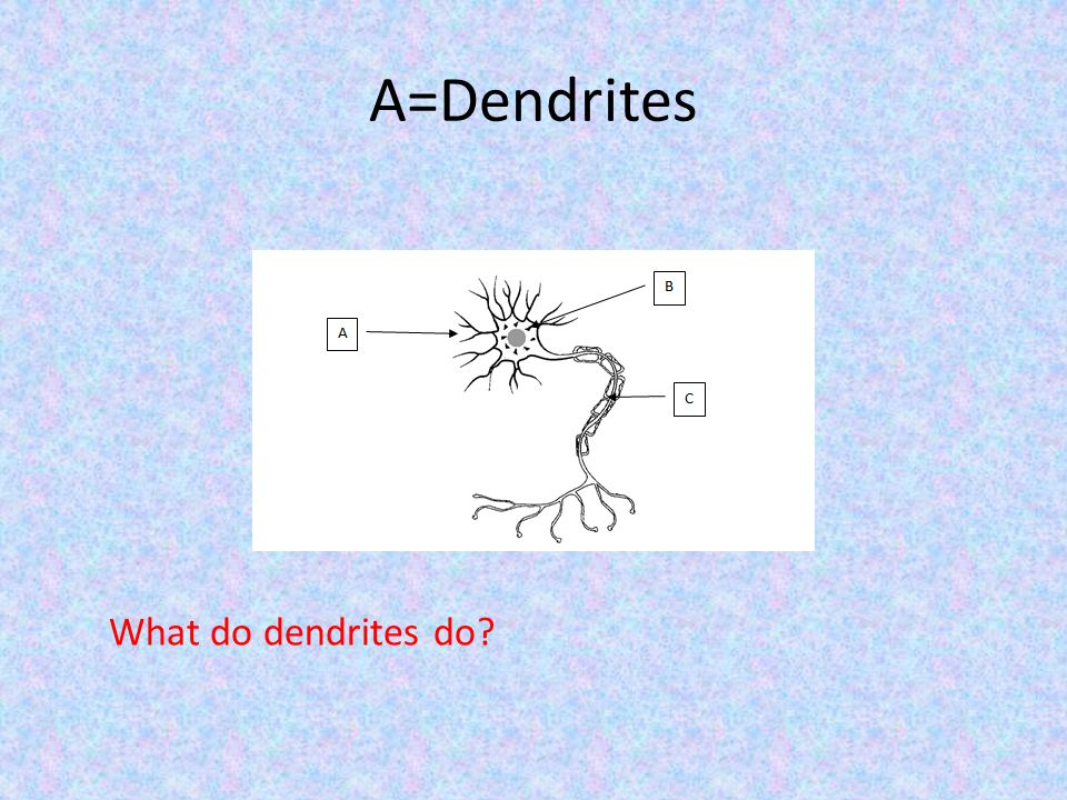 What do dendrites do