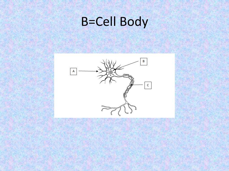 B=Cell Body