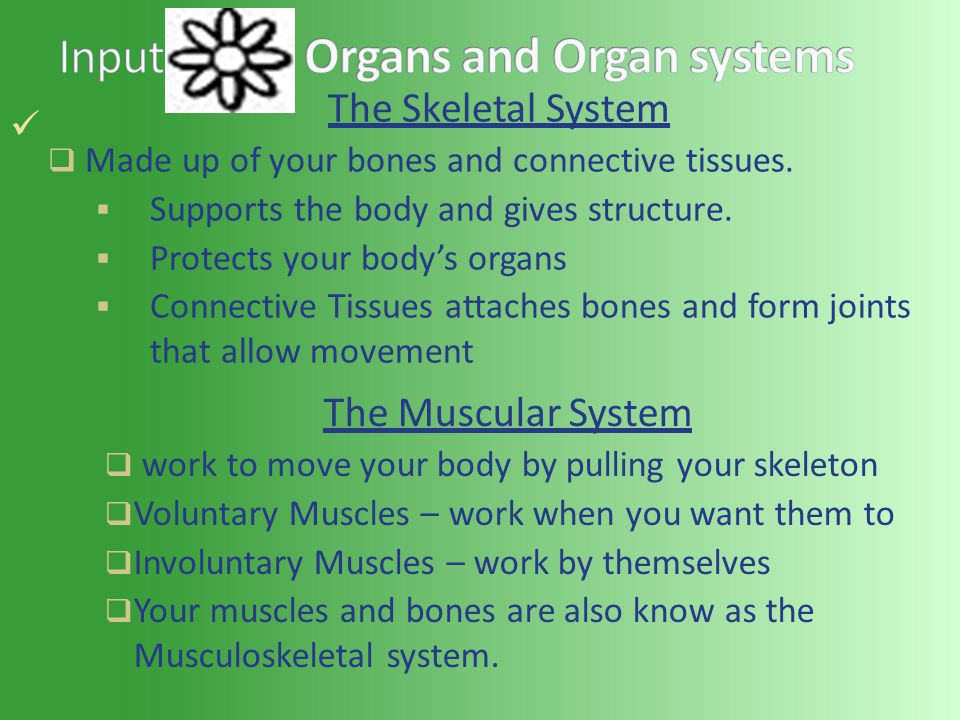 The Skeletal System  Made up of your bones and connective tissues.