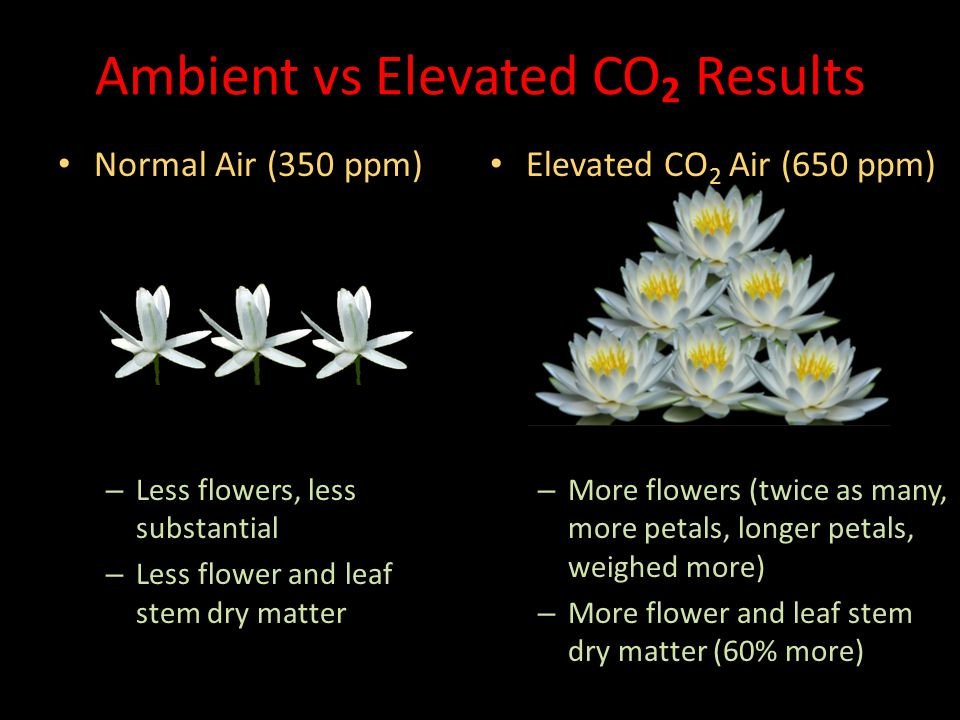 Elevated CO 2 Air (650 ppm) – More flowers (twice as many, more petals, longer petals, weighed more) – More flower and leaf stem dry matter (60% more) Normal Air (350 ppm) Normal Air (350 ppm) – Less flowers, less substantial – Less flower and leaf stem dry matter Ambient vs Elevated CO 2 Results