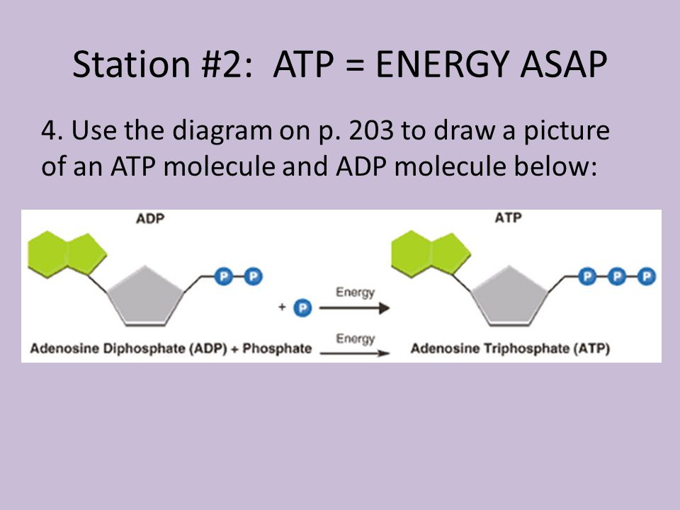 Station #2: ATP = ENERGY ASAP 4. Use the diagram on p.