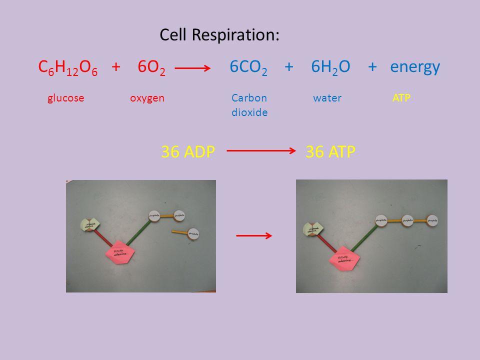 Cell Respiration: C 6 H 12 O 6 + 6O 2 6CO 2 + 6H 2 O + energy glucoseoxygenCarbon dioxide waterATP 36 ADP 36 ATP