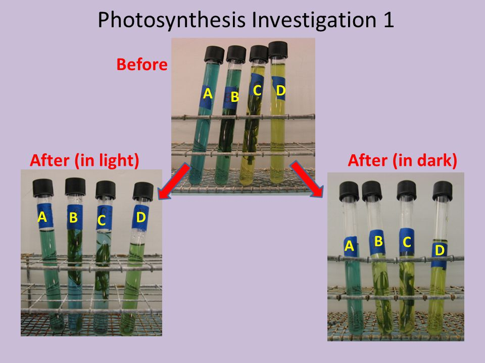 Photosynthesis Investigation 1 Before After (in dark)After (in light) A A A B B B C C C D D D
