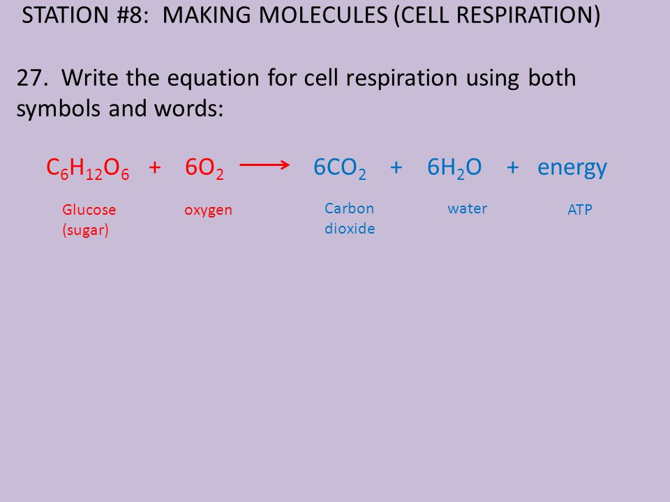 STATION #8: MAKING MOLECULES (CELL RESPIRATION) 27.