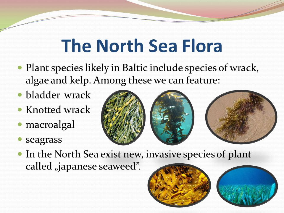 The North Sea Flora Plant species likely in Baltic include species of wrack, algae and kelp.