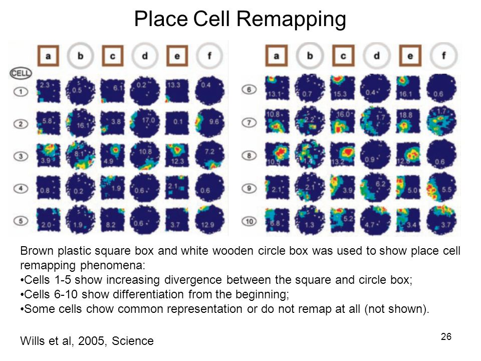 26 Place Cell Remapping Wills et al, 2005, Science Brown plastic square box and white wooden circle box was used to show place cell remapping phenomena: Cells 1-5 show increasing divergence between the square and circle box; Cells 6-10 show differentiation from the beginning; Some cells chow common representation or do not remap at all (not shown).