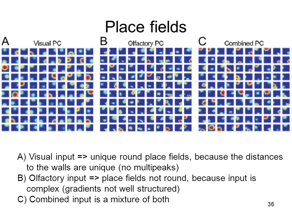 36 Place fields A) Visual input => unique round place fields, because the distances to the walls are unique (no multipeaks) B) Olfactory input => place fields not round, because input is complex (gradients not well structured) C) Combined input is a mixture of both