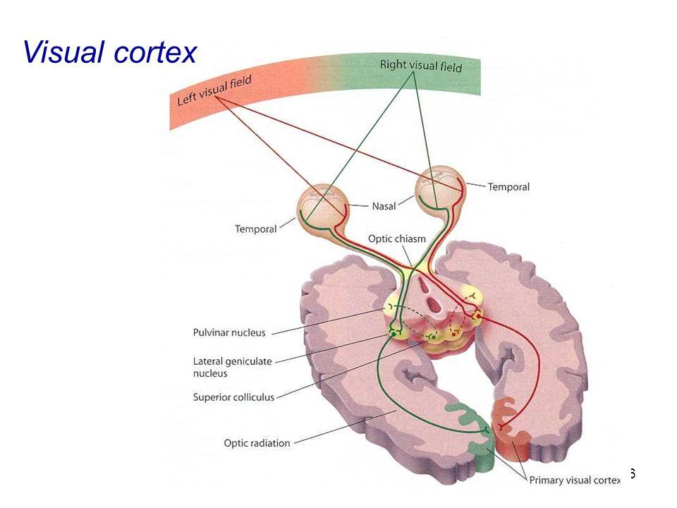 46 Visual cortex