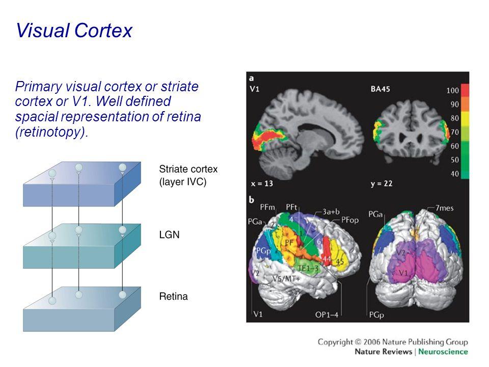 47 Visual Cortex Primary visual cortex or striate cortex or V1.