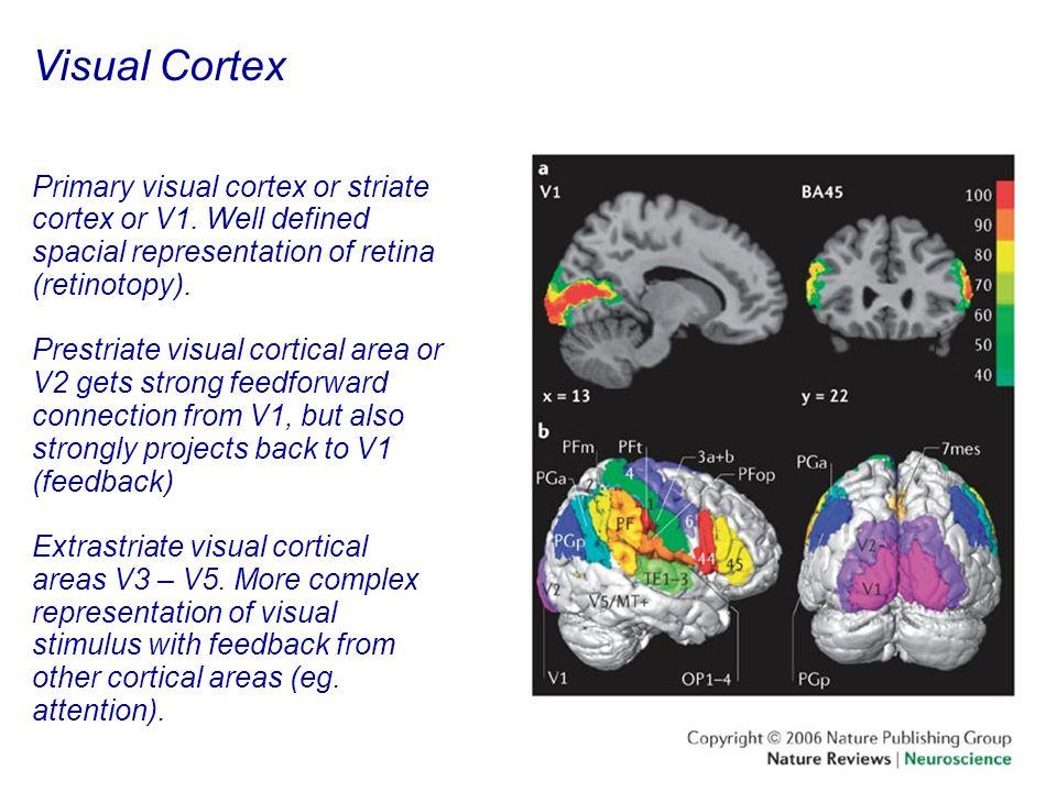 48 Visual Cortex Primary visual cortex or striate cortex or V1.