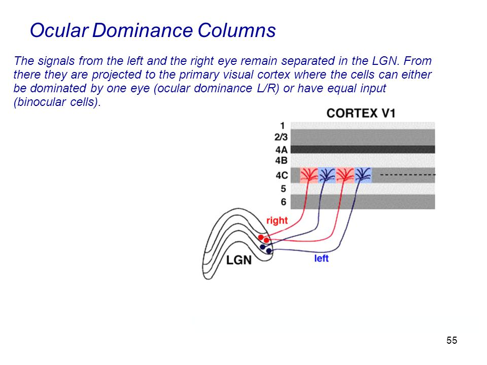 55 Ocular Dominance Columns The signals from the left and the right eye remain separated in the LGN.
