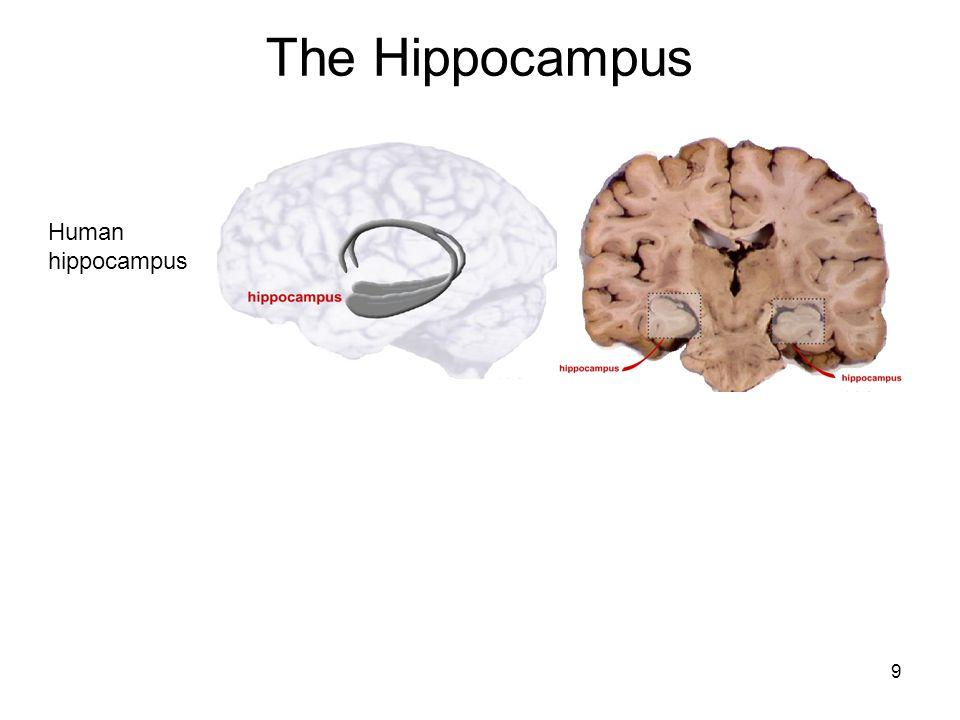 9 The Hippocampus Human hippocampus