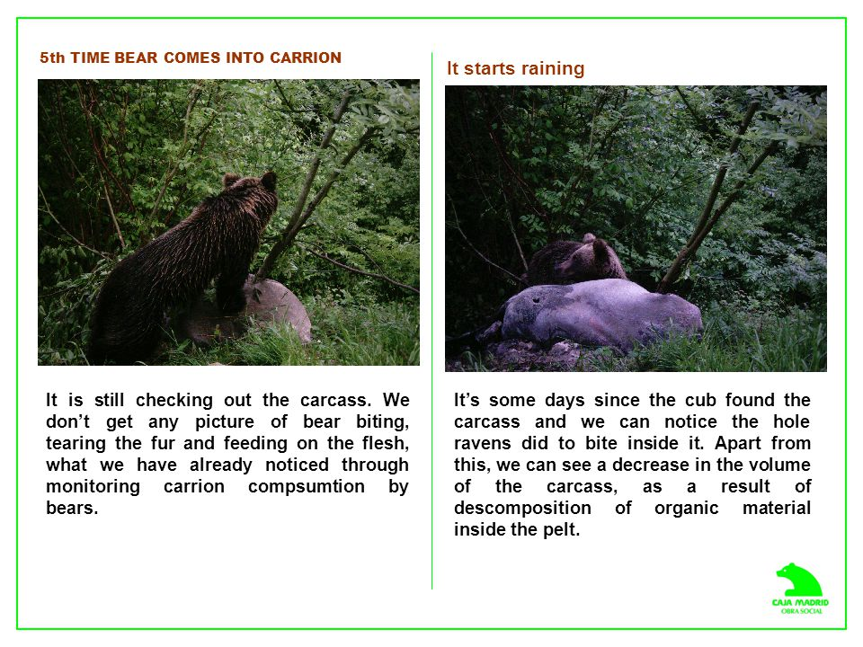 5th TIME BEAR COMES INTO CARRION It is still checking out the carcass.