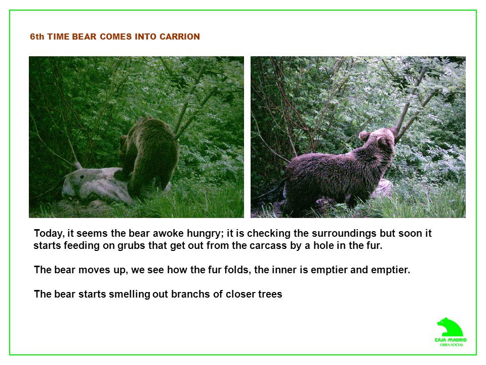 6th TIME BEAR COMES INTO CARRION Today, it seems the bear awoke hungry; it is checking the surroundings but soon it starts feeding on grubs that get o