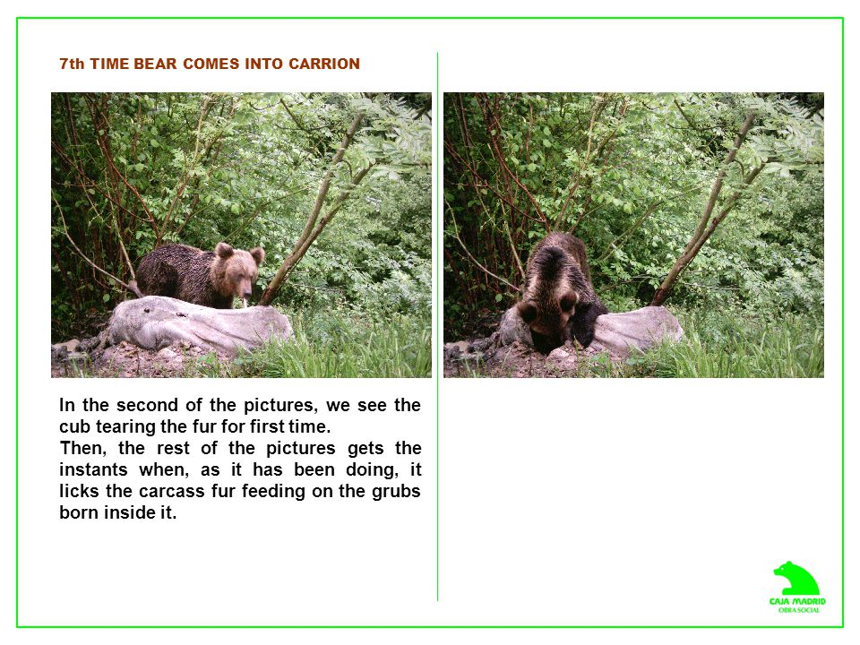 7th TIME BEAR COMES INTO CARRION In the second of the pictures, we see the cub tearing the fur for first time. Then, the rest of the pictures gets the