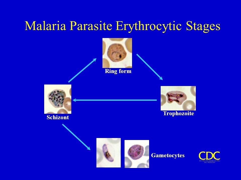 Malaria Parasite Erythrocytic Stages Ring form Trophozoite Schizont Gametocytes