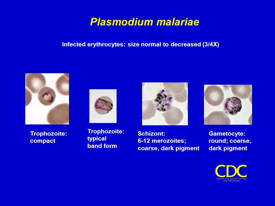 Infected erythrocytes: size normal to decreased (3/4X) Plasmodium malariae Trophozoite: compact Trophozoite: typical band form Schizont: 6-12 merozoit