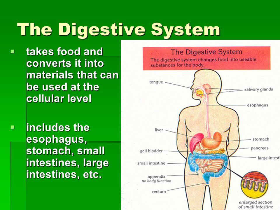 The Digestive System  takes food and converts it into materials that can be used at the cellular level  includes the esophagus, stomach, small intes