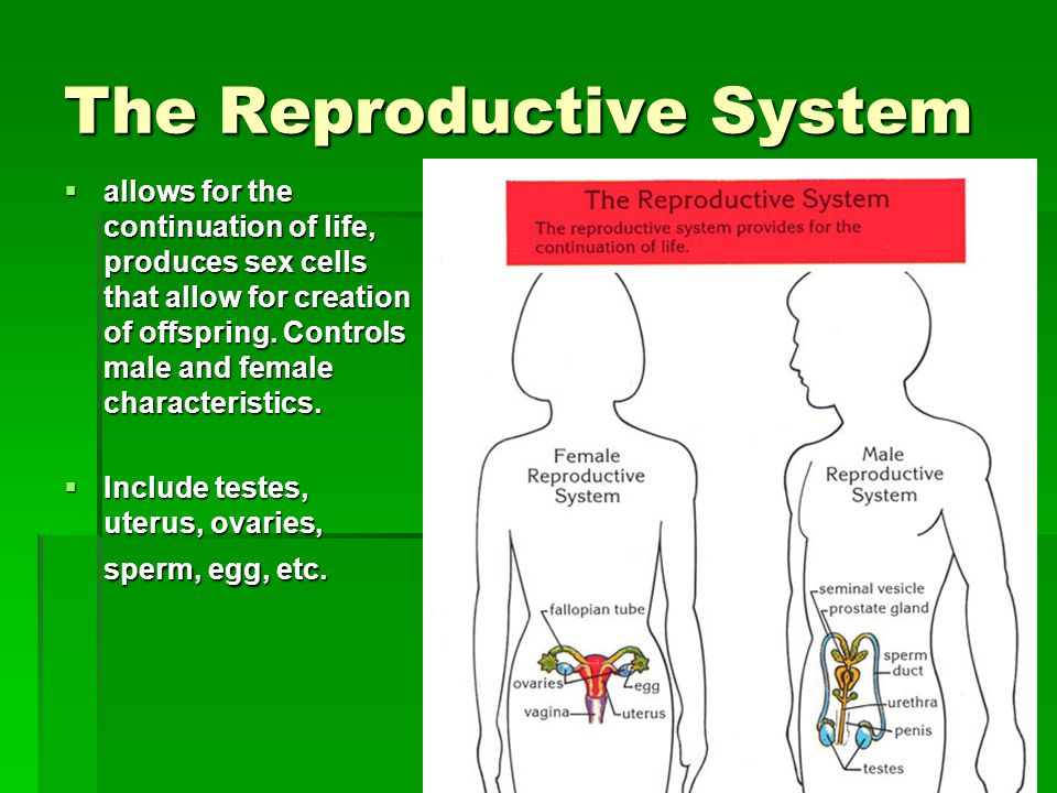The Reproductive System  allows for the continuation of life, produces sex cells that allow for creation of offspring. Controls male and female chara