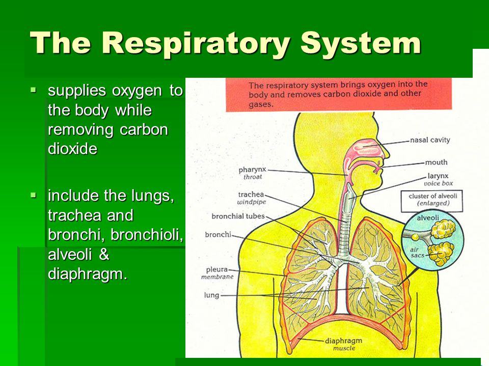The Respiratory System  supplies oxygen to the body while removing carbon dioxide  include the lungs, trachea and bronchi, bronchioli, alveoli & dia