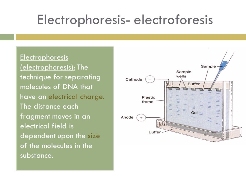 Electrophoresis- electroforesis Electrophoresis (electrophoresis): The technique for separating molecules of DNA that have an electrical charge. The d