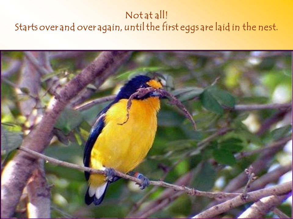 Not at all! Starts over and over again, until the first eggs are laid in the nest.