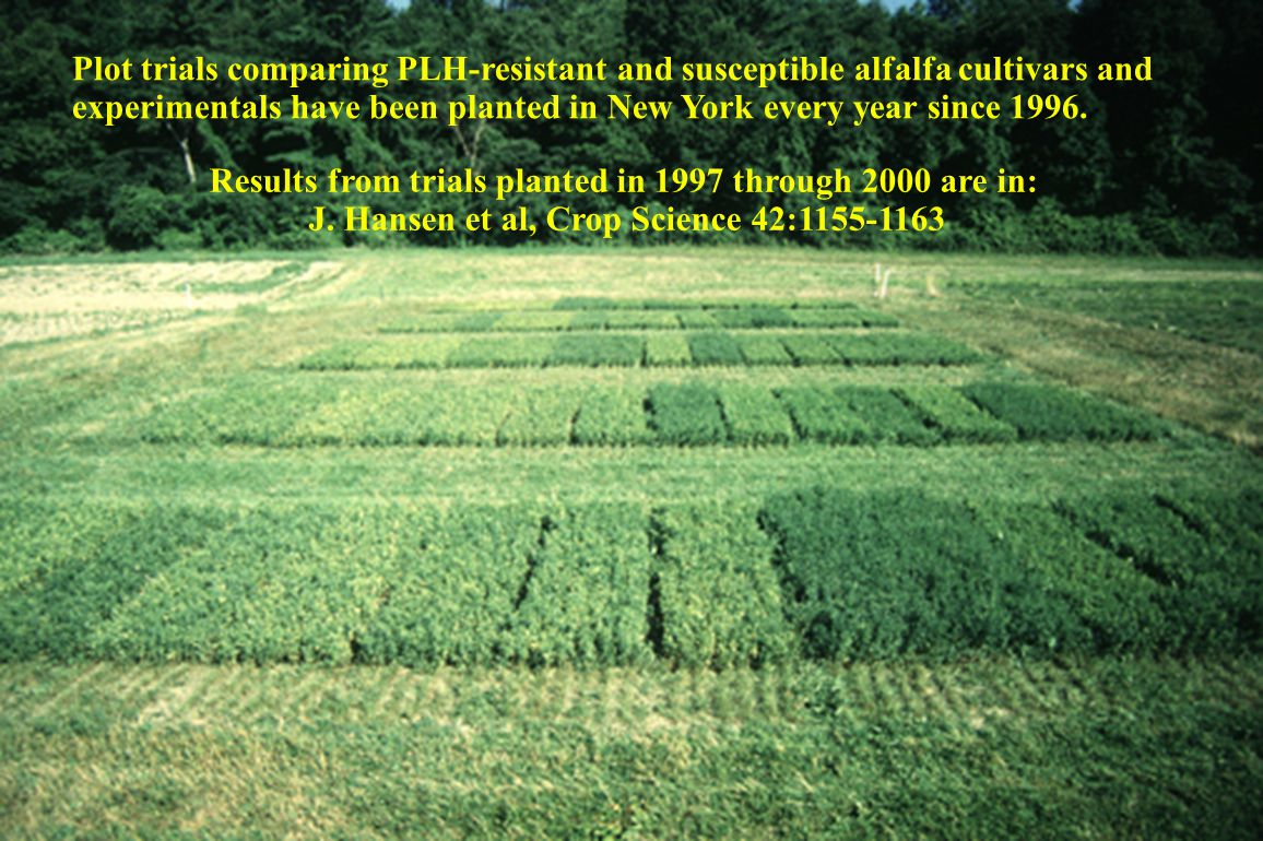 Plot trials comparing PLH-resistant and susceptible alfalfa cultivars and experimentals have been planted in New York every year since 1996.