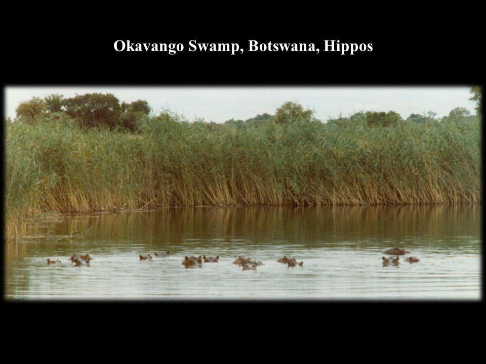 Okavango Swamp, Botswana, Hippos