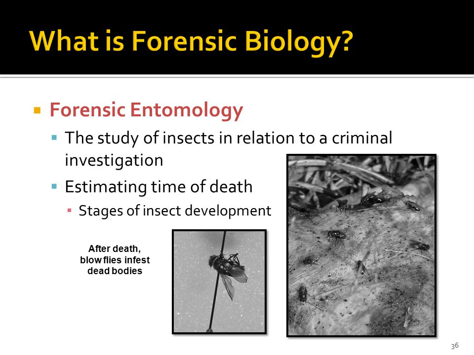  Forensic Entomology  The study of insects in relation to a criminal investigation  Estimating time of death ▪ Stages of insect development 36 After death, blow flies infest dead bodies