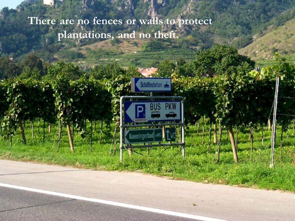 Vinyards form the margin of the roads