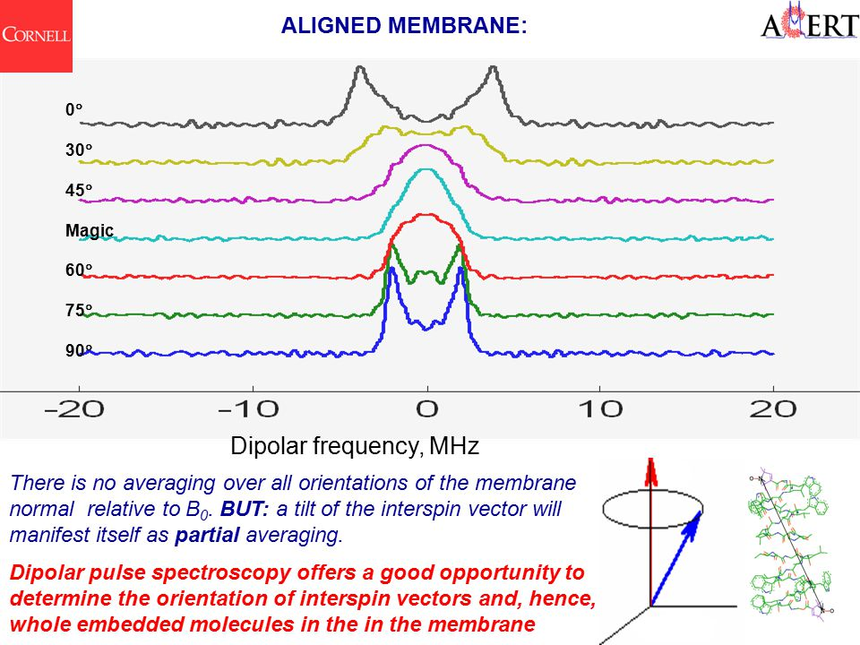 ALIGNED MEMBRANE: Dipolar frequency, MHz 0  30  45  Magic 60  75  90  There is no averaging over all orientations of the membrane normal relative to B 0.
