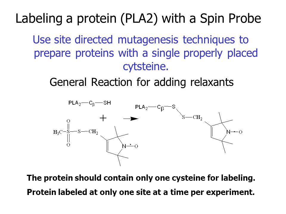Labeling a protein (PLA2) with a Spin Probe Use site directed mutagenesis techniques to prepare proteins with a single properly placed cytsteine.