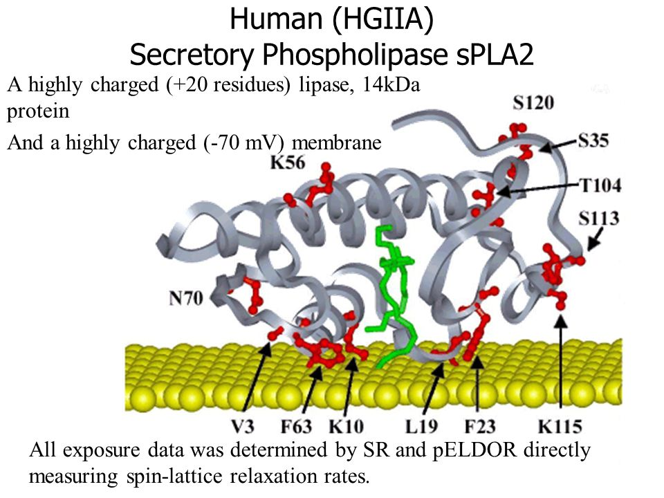 Human (HGIIA) Secretory Phospholipase sPLA2 A highly charged (+20 residues) lipase, 14kDa protein And a highly charged (-70 mV) membrane All exposure