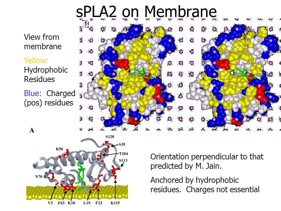 sPLA2 on Membrane View from membrane Yellow: Hydrophobic Residues Blue: Charged (pos) residues Orientation perpendicular to that predicted by M.
