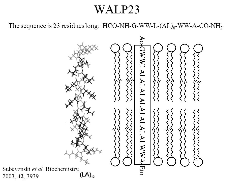 WALP23 The sequence is 23 residues long: HCO-NH-G-WW-L-(AL) 8 -WW-A-CO-NH 2 Subcyznski et al. Biochemistry, 2003, 42, 3939