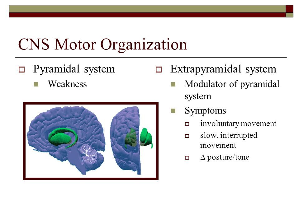 CNS Motor Organization  Pyramidal system Weakness  Extrapyramidal system Modulator of pyramidal system Symptoms  involuntary movement  slow, interrupted movement   posture/tone