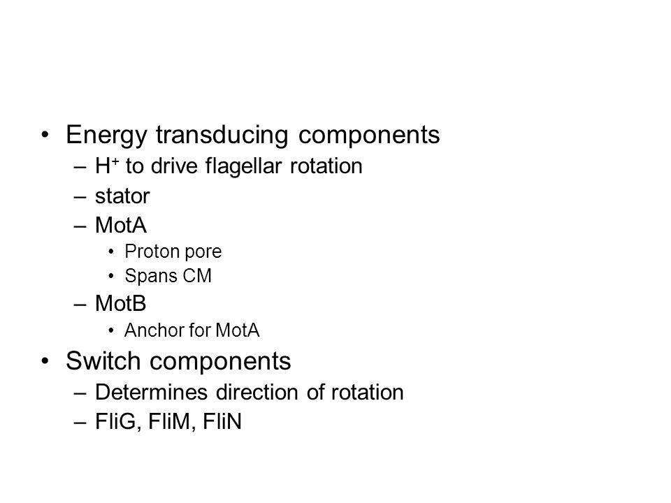 Energy transducing components –H + to drive flagellar rotation –stator –MotA Proton pore Spans CM –MotB Anchor for MotA Switch components –Determines direction of rotation –FliG, FliM, FliN