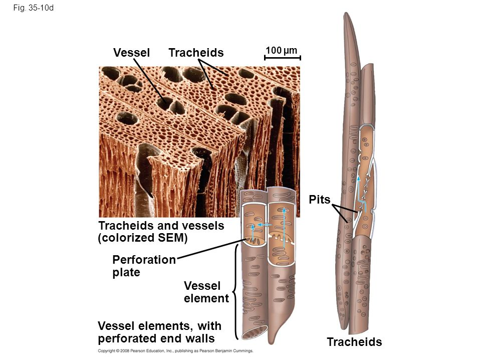 Fig. 35-10d Perforation plate Vessel element Vessel elements, with perforated end walls Tracheids Pits Tracheids and vessels (colorized SEM) Vessel Tr