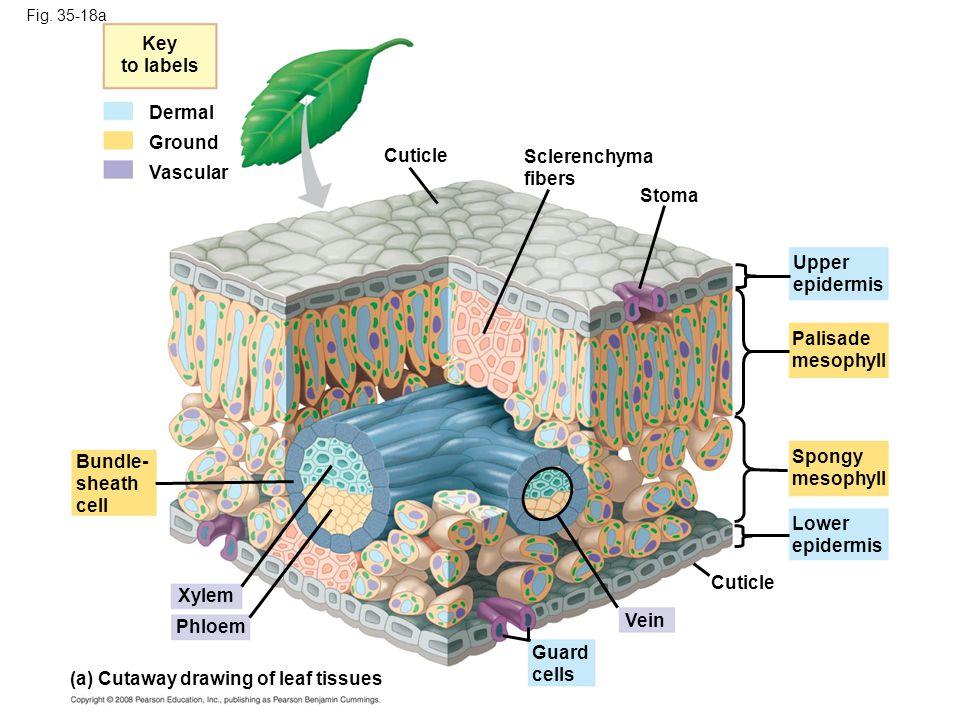 Fig. 35-18a Key to labels Dermal Ground Vascular Cuticle Sclerenchyma fibers Stoma Bundle- sheath cell Xylem Phloem (a) Cutaway drawing of leaf tissue
