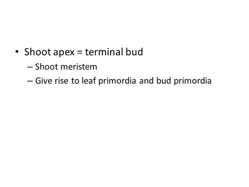Shoot apex = terminal bud – Shoot meristem – Give rise to leaf primordia and bud primordia