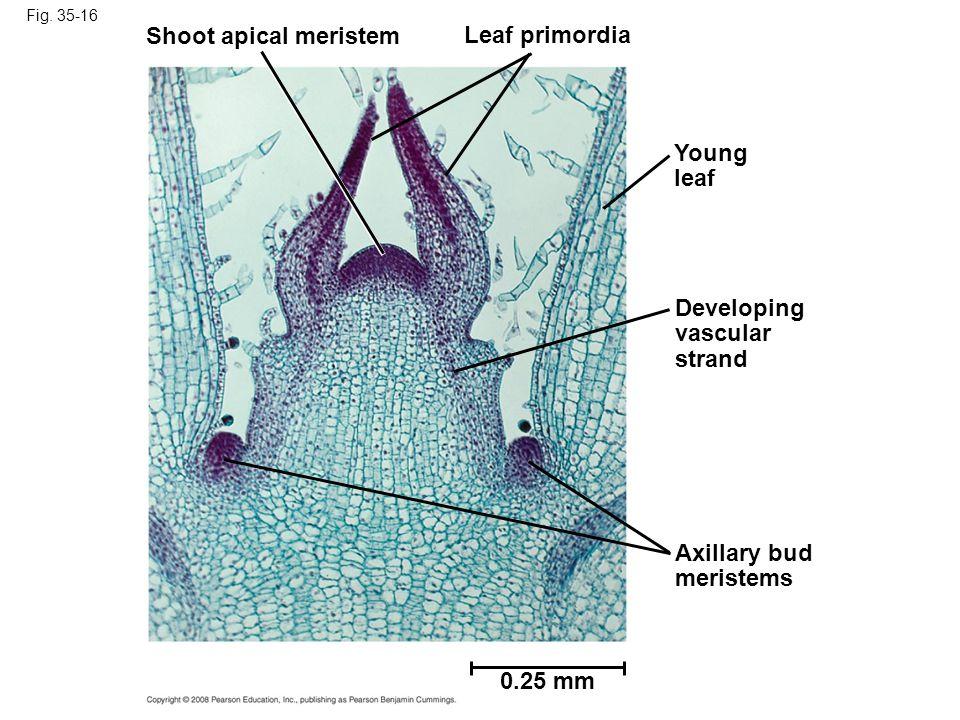 Fig. 35-16 Shoot apical meristem Leaf primordia Young leaf Developing vascular strand Axillary bud meristems 0.25 mm
