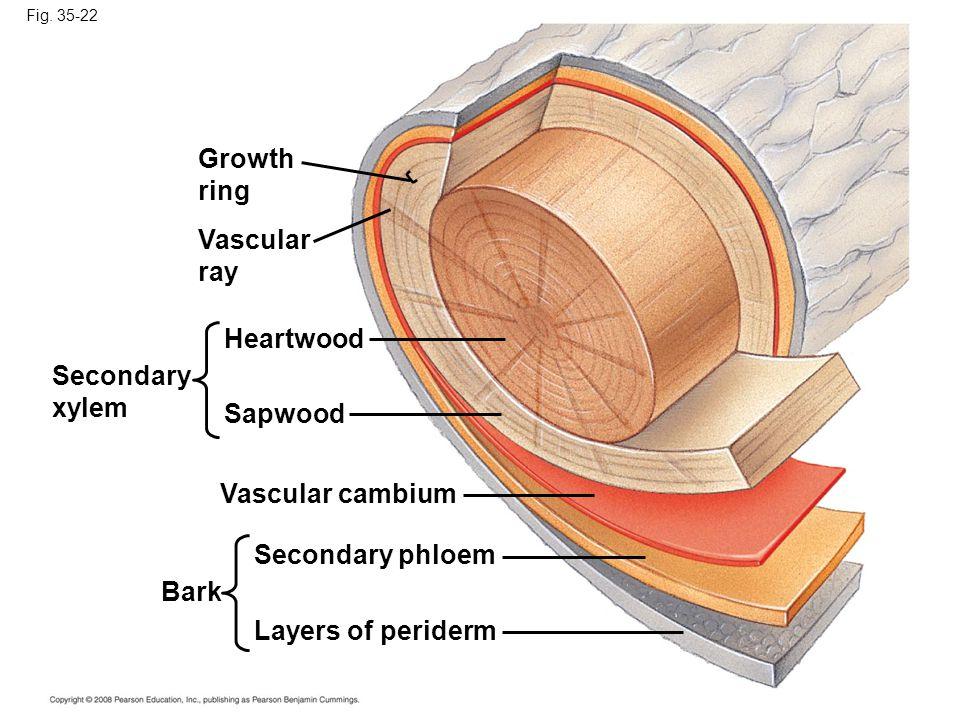 Fig. 35-22 Growth ring Vascular ray Secondary xylem Heartwood Sapwood Bark Vascular cambium Secondary phloem Layers of periderm