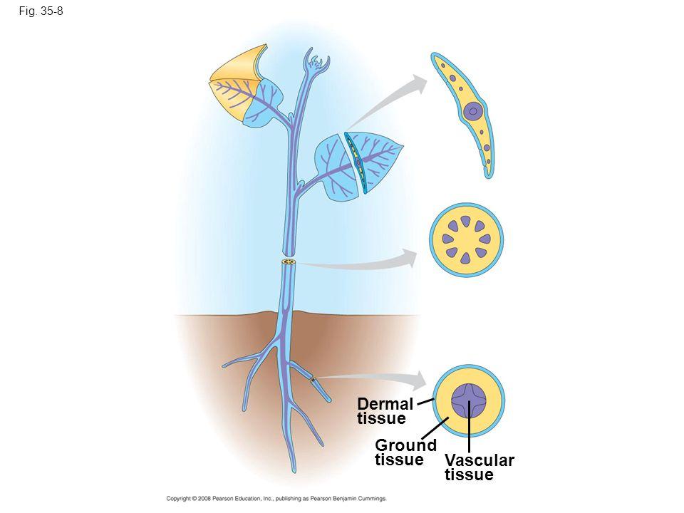 Fig. 35-8 Dermal tissue Ground tissue Vascular tissue