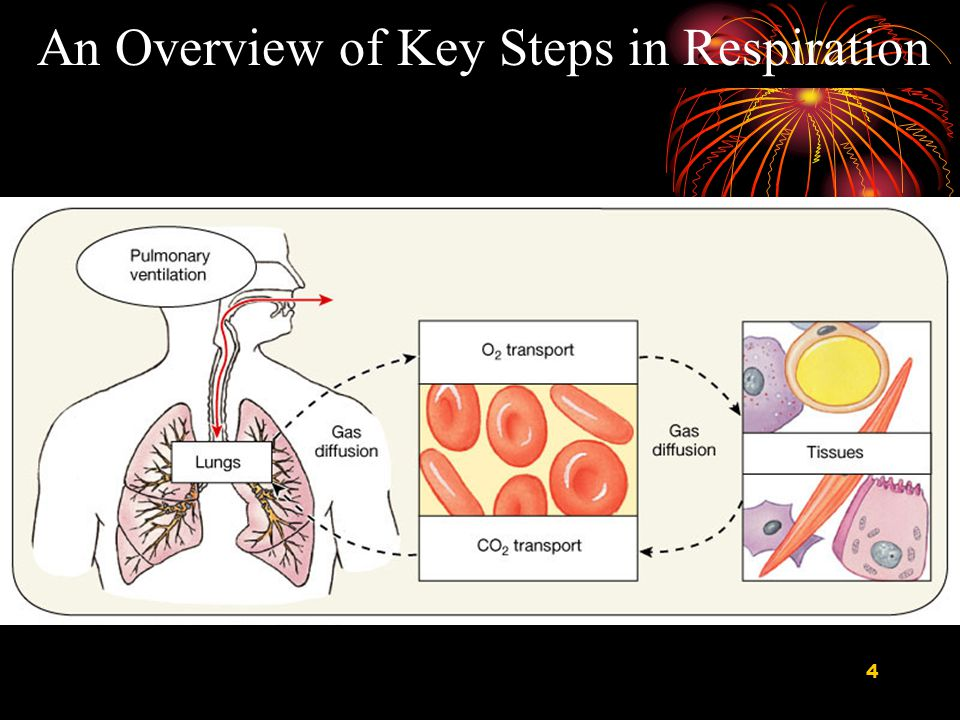 5 Respiration can be divided into four major functional events Ventilation: Movement of air into and out of lungs Gas exchange between air in lungs and blood Transport of oxygen and carbon dioxide in the blood Internal respiration: Gas exchange between the blood and tissues