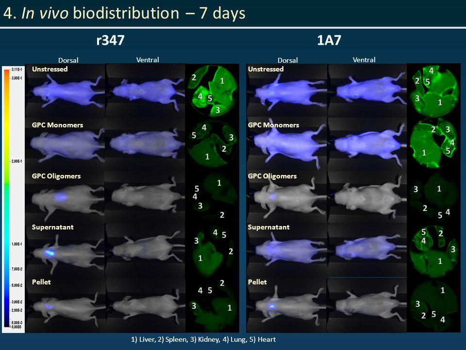 4. In vivo biodistribution – 7 days 1) Liver, 2) Spleen, 3) Kidney, 4) Lung, 5) Heart r3471A7 Dorsal Ventral Dorsal Ventral Unstressed GPC Monomers GP