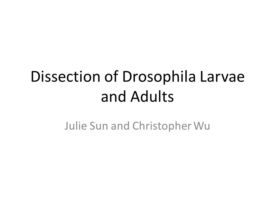 Dissection of Drosophila Larvae and Adults Julie Sun and Christopher Wu