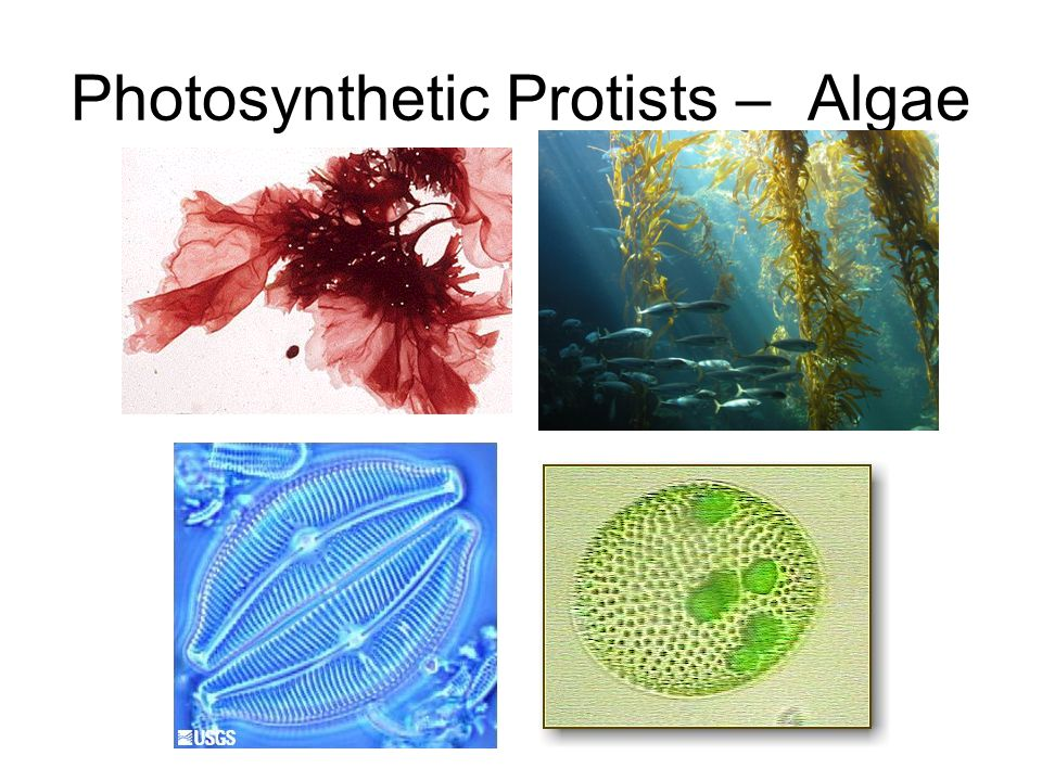 Heterotrophic Protists - Protozoa - classified by their movement.