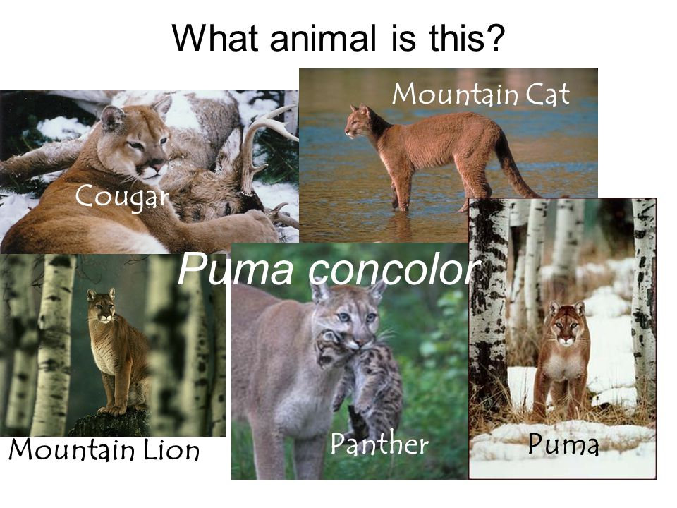 Cougar Mountain Cat Mountain Lion PumaPanther What animal is this? Puma concolor