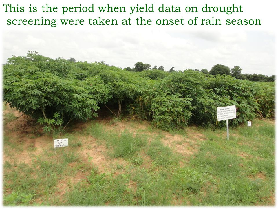 This is the period when yield data on drought screening were taken at the onset of rain season